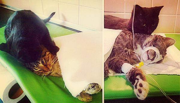 Increíble un gato ¡enfermero!