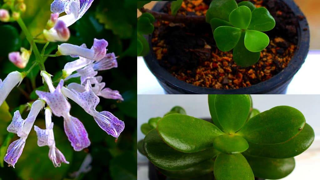 Planta del dinero feng shui gallery of plantas para la - Plantas para atraer el dinero ...