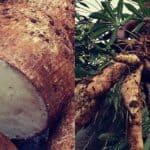 Yuca amarga — La muerte servida en el plato