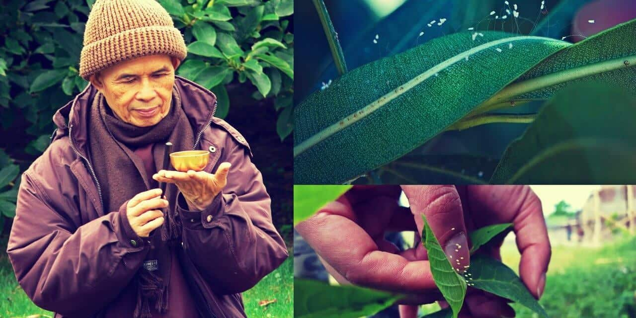 Flor de Udumbara – Produce armonía y buena suerte para la Humanidad