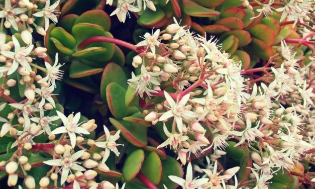 La Crassula Ovata – Planta de Jade – Planta del Dinero