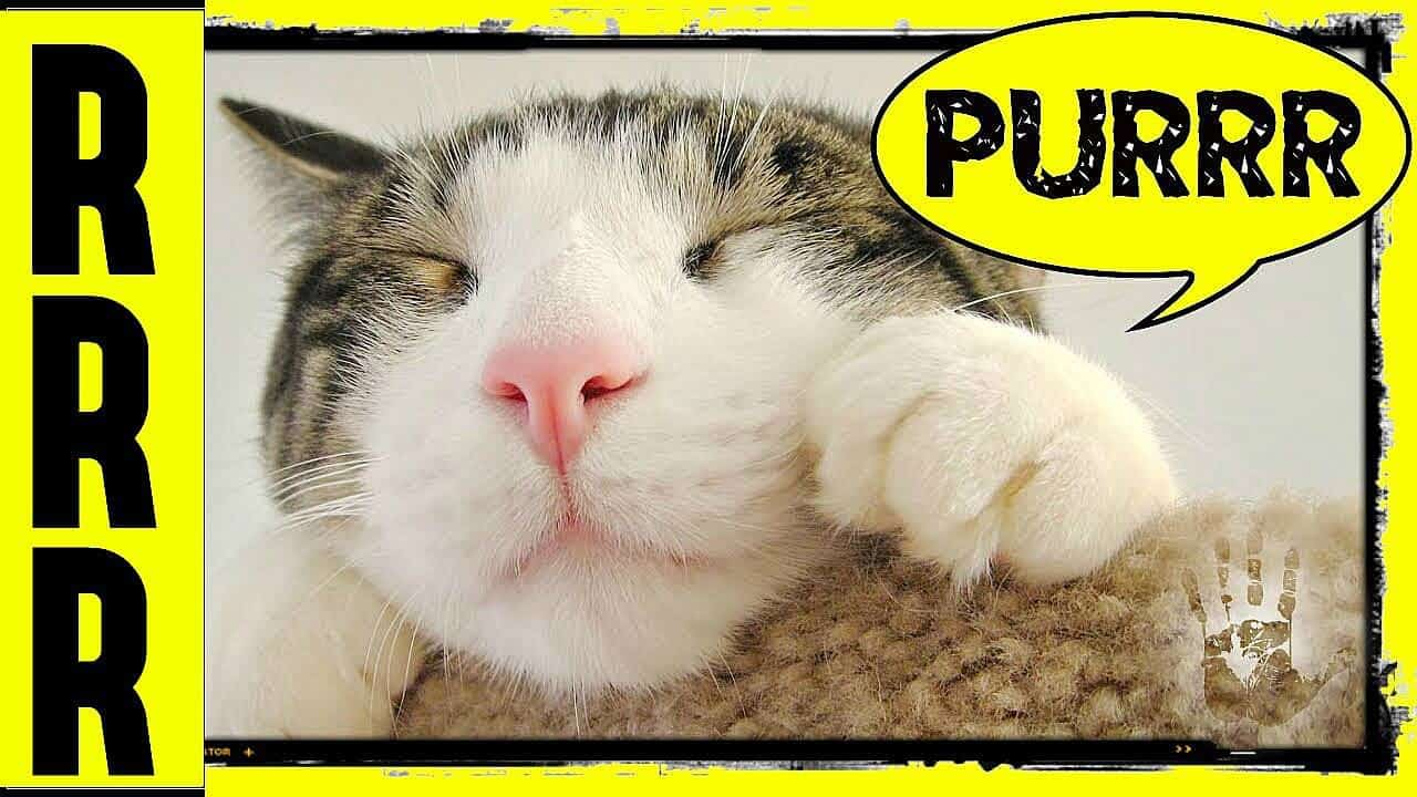 Beneficios terapéuticos del ronroneo de un gato